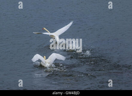 A pair of Swan in fight and than Landing on a Lake. - Stock Photo