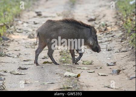 An Indian Boar (Sus scrofa cristatus) crossing the road in Rajaji National Park, Rishikesh, Uttarakhand, India - Stock Photo
