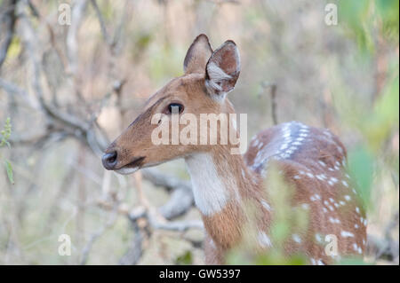 A Chital or Spotted Deer (Axis axis) in the forest of Rajaji National Park, Uttarakhand, India - Stock Photo