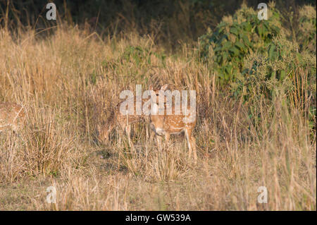 A group of Chital or Spotted Deer (Axis axis) in Rajaji National Park, Uttarakhand, India - Stock Photo