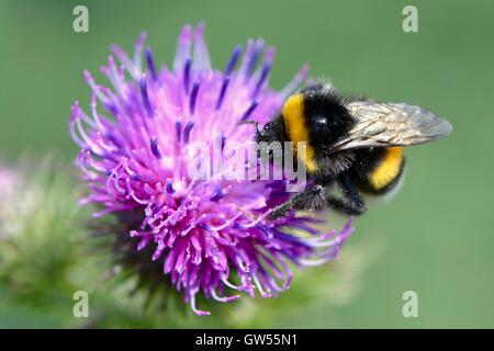 Bumble bee on thistle - Stock Photo