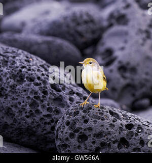 Yellow Warbler (Setophaga petechia) hunts for food on the shores of Fernandina in the Galapagos Islands of Ecuador - Stock Photo