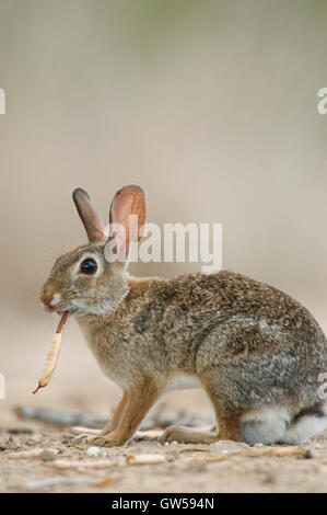 Eastern Cottontail Rabbit (Sylvilagus floridanus) eating vegetation, Eastern Texas USA - Stock Photo