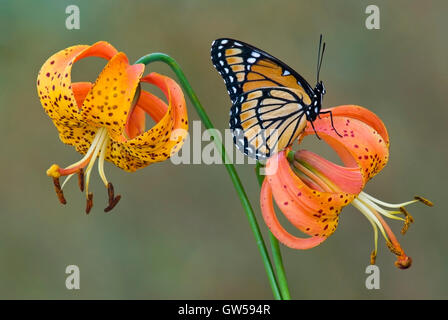 Viceroy Butterfly (Limenitis archippuson), American Tiger Lily Turk's Cap Lily, Turban Lily, (Lilium superbum), - Stock Photo