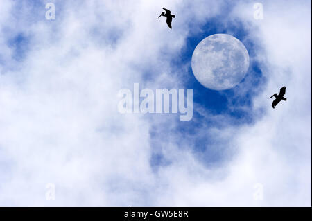 Moon birds are tow silhouetted birds flying by a bright full moon with wispy clouds in a deep blue sky. - Stock Photo