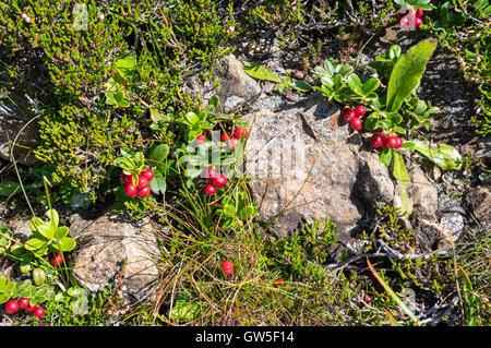 Lingonberry (vaccinium vitis-idaea) plant with berries in the Swiss Alps. - Stock Photo