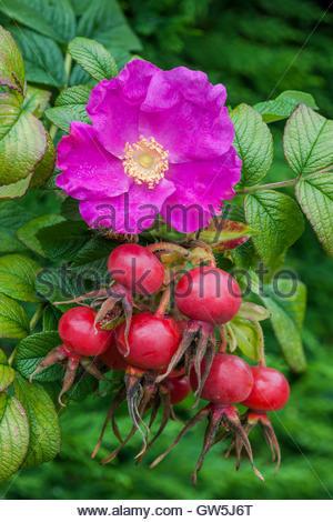 Rosa rugosa - Stock Photo