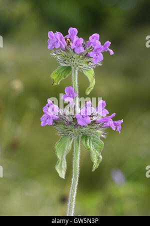 Wild Basil - Clinopodium vulgare - Stock Photo
