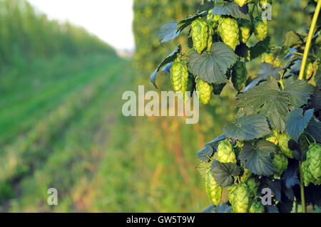 Close up of ripe green hops, growing in a field - Stock Photo