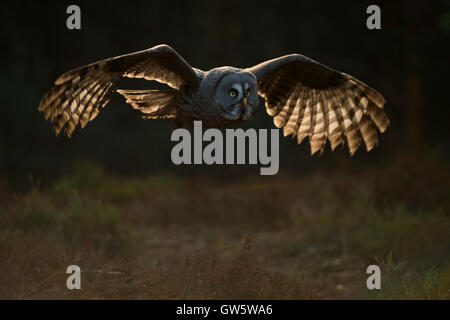 Great Grey Owl / Bartkauz ( Strix nebulosa ) in its silent flight, nice backlight shining through its wings, typical - Stock Photo