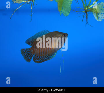 Dwarf gourami, Trichogaster lalius. Male close to floating nest. Portugal. - Stock Photo