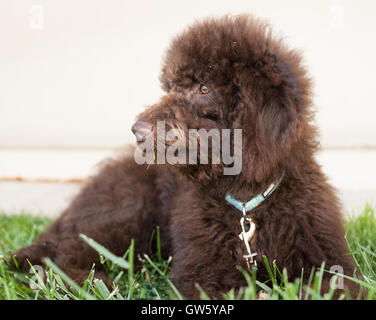 Chocolate labradoodle puppy dog lays on the grass.  A labradoodle is a cross between a poodle and a labrador retriever. - Stock Photo