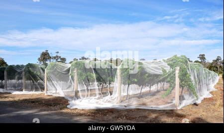 Vineyard rows the vine canopy covered in white bird netting under a blue sky with clouds in Western Australia - Stock Photo