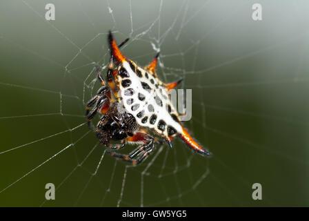 Star spider, Gasteracantha cancriformis. São Tomé e Príncipe - Stock Photo