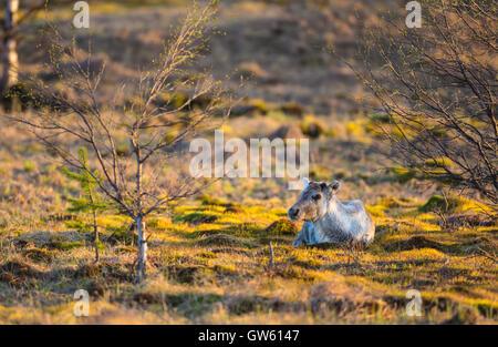 Reindeer lying down in nice warm evening light with birch trees budding on the side, Gällivare, Swedish Lapland, - Stock Photo
