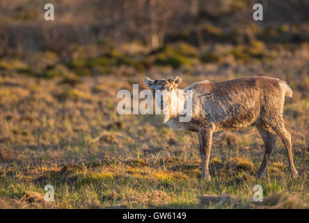 Reindeer in warm evening light looking in to the camera, Gällivare, Swedish Lapland, Sweden - Stock Photo