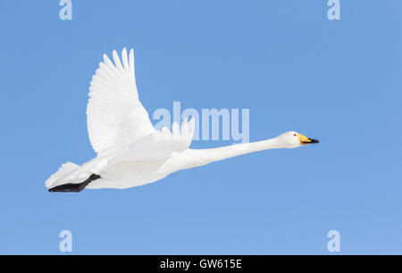 Whooper swan flying in clear blue sky, Gällivare Swedish Lapland, Sweden - Stock Photo