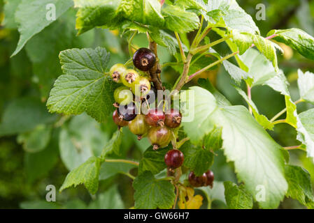 Close up of fruit ripening on a blackcurrant bush (Ribes nigrum) growing in the UK. - Stock Photo