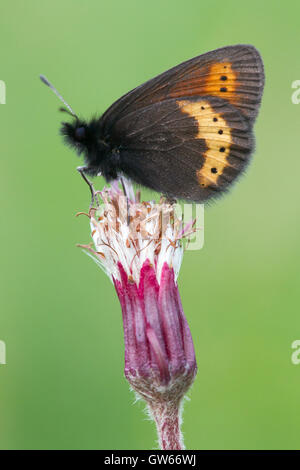 Erebia flavofasciata, an endemic butterfly of the North-Western Alps, in an alpine meadow. - Stock Photo