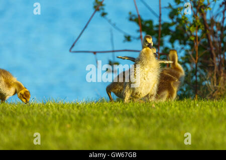 Baby Canadian goose stretching his small wings. - Stock Photo