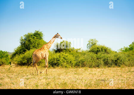 Giraffe walking on the plains in the wilds of Africa - Stock Photo