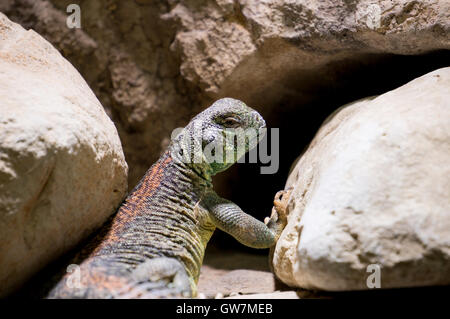 Omani spiny tailed Lizard lying on rocks - Stock Photo