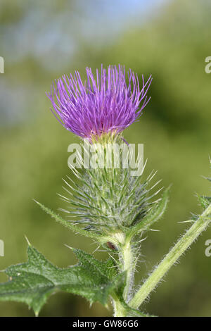 Spear Thistle - Cirsium vulgare - Stock Photo