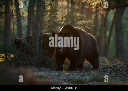 European Brown Bears / Braunbaeren ( Ursus arctos ), powerful and strong, in a pine forest, nice early morning backlight. - Stock Photo