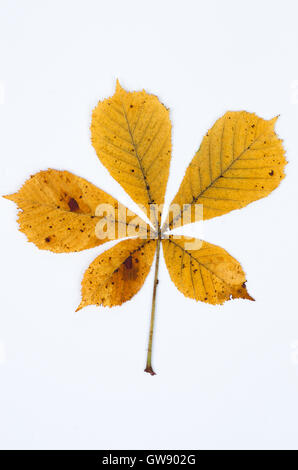 fall leaf on white paper background - Stock Photo