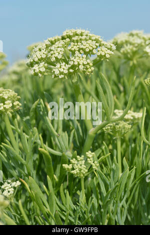 Rock-samphire - Crithmum maritimum - Stock Photo