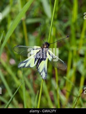 Owly Sulphur (Libelloides coccajus), an owlfly. Le Chinaillon, Le Grand Bornand, Haute-Savoie, France. - Stock Photo