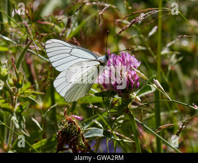 Black-veined White nectaring on clover. Le Chinaillon, Le Grand Bornand, Haute-Savoie, France. - Stock Photo
