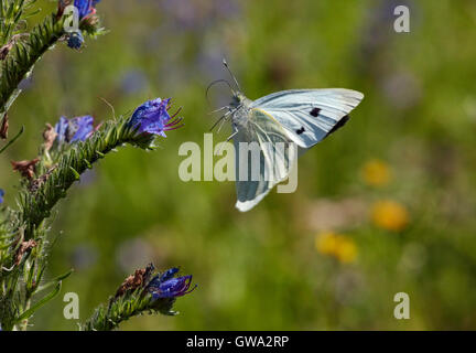 Large White butterfly taking off from Viper's Bugloss flower. - Stock Photo