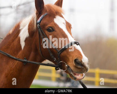 Dressage or riding concept: portrait of horse with bridle closeup. - Stock Photo