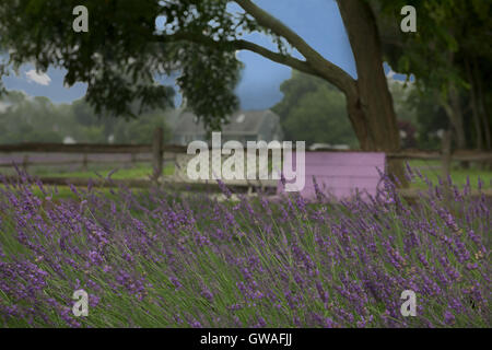 Purple bench next to a fence underneath trees in a field of lavender - Stock Photo