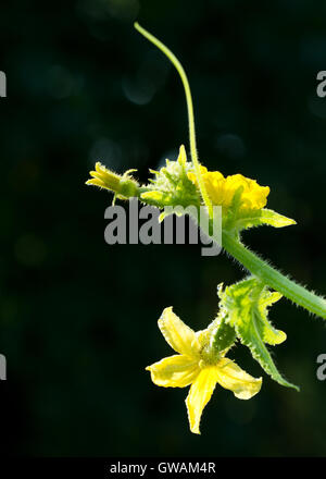 Fresh green little cucumbers with yellow flowers growing in garden close up - Stock Photo