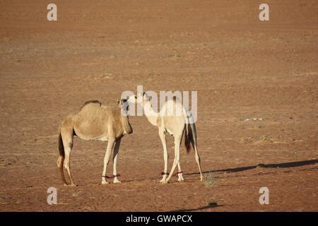 Camel in the desert. Image taken in Wahiba Sands desert, the main Omani desert. - Stock Photo