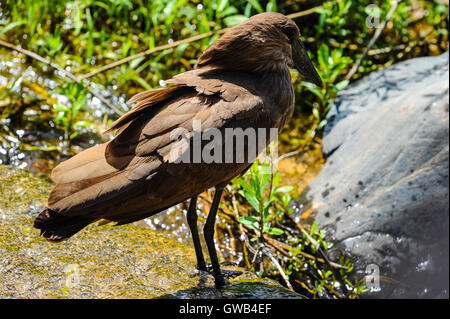 The Hamerkop is a medium-sized wading bird. Kruger National Park, the largest game reserve in South Africa. - Stock Photo