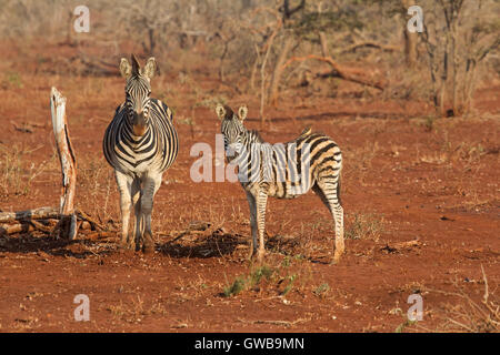 Adult and juvenile Zebra Equus burchellii / quagga standing in scrubland in South Africa - Stock Photo