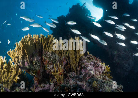school of fish at coral reef in Abrolhos National Marine Park, Bahia state, Brazil - Stock Photo