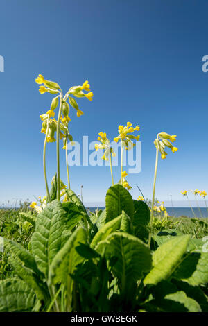 Cowslip Primula veris growing on the North Wales coast in spring - Stock Photo