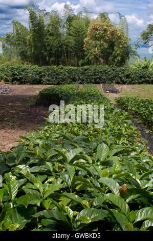 Coffee plant cuttings at Hacienda San Alberto. Coffee plantations near the town Buenavista. Quindio, Colombia. Colombian - Stock Photo