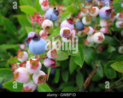 Close-up of ripening Maine wild (low bush) blueberries - Stock Photo