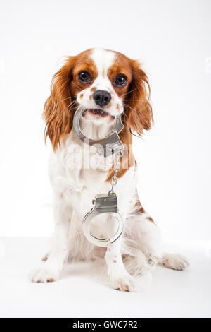 Cavalier King charles spaniel studio photos against animal cruelty. Love animals. Dog with handcuffs illustrate - Stock Photo