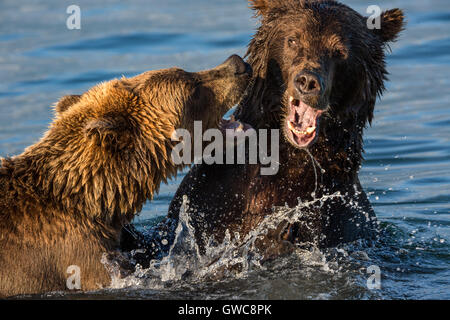 Two brown bears play fighting in wildlife - Stock Photo