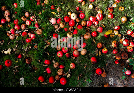 About 100 red eating apples lying on the floor in green grass that have fallen of an apple tree, windfall apples, - Stock Photo