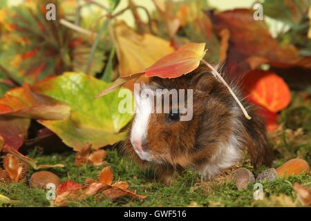 young Abyssinian guinea pig - Stock Photo