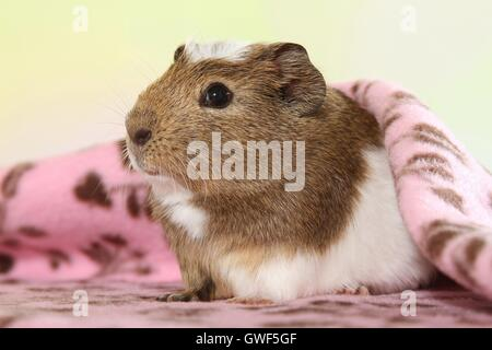 crested guinea pig - Stock Photo