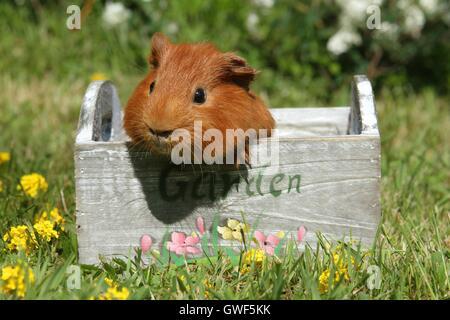 Sheltie guinea pig - Stock Photo