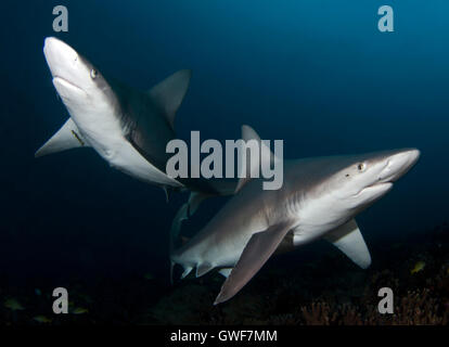 A Sandbar shark swims buzzes by one night offshore from the Big Island, Hawaii. - Stock Photo